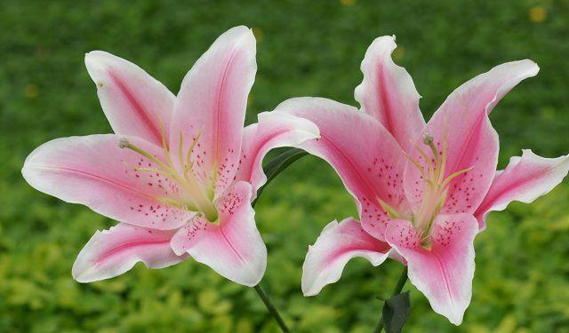 Hoa bách hợp đẹp, các bông bách hợp