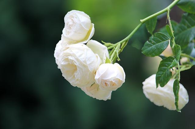 hoa hong trang dep nhat 2