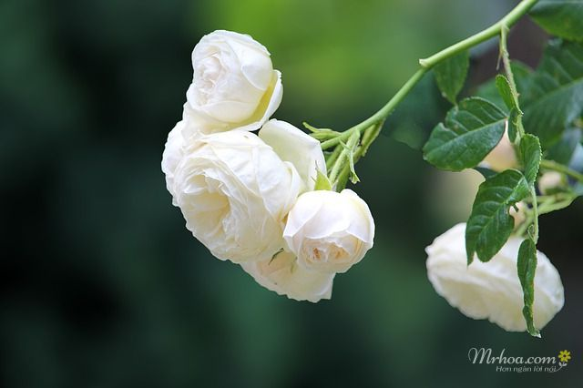 canh hoa hong trang