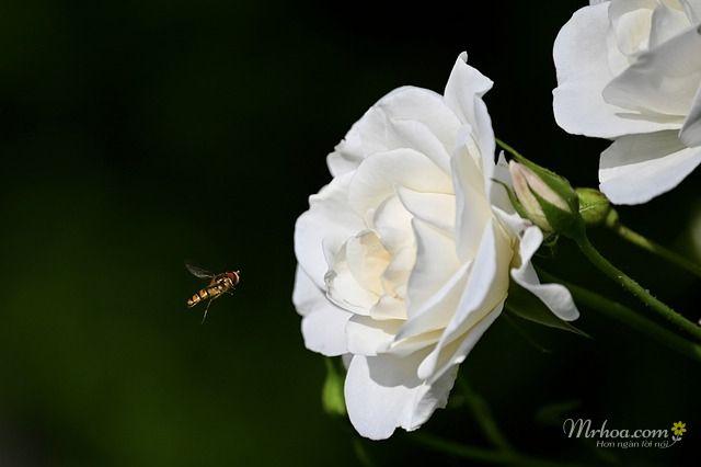 Bông hoa hồng trắng