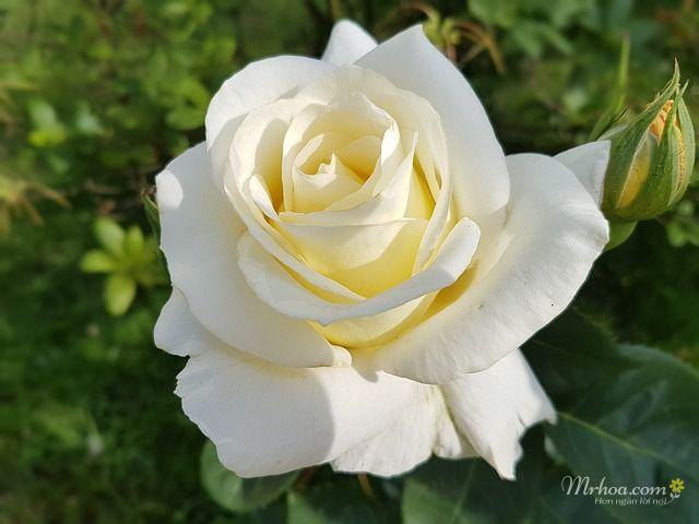 bông hoa hồng trắng đẹp