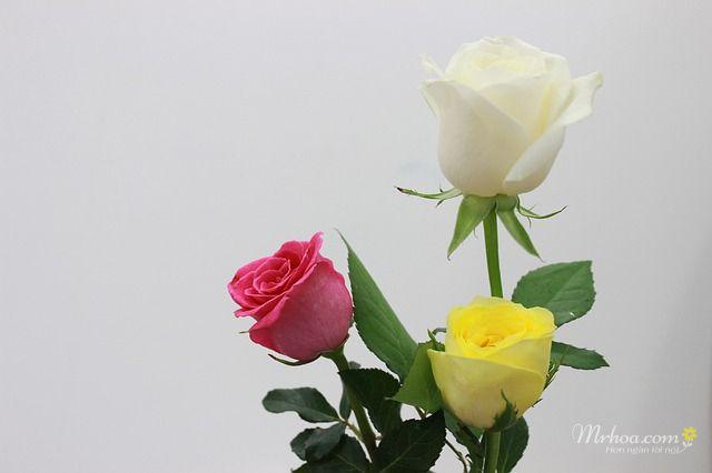 Ảnh đẹp bông hoa hồng trắng