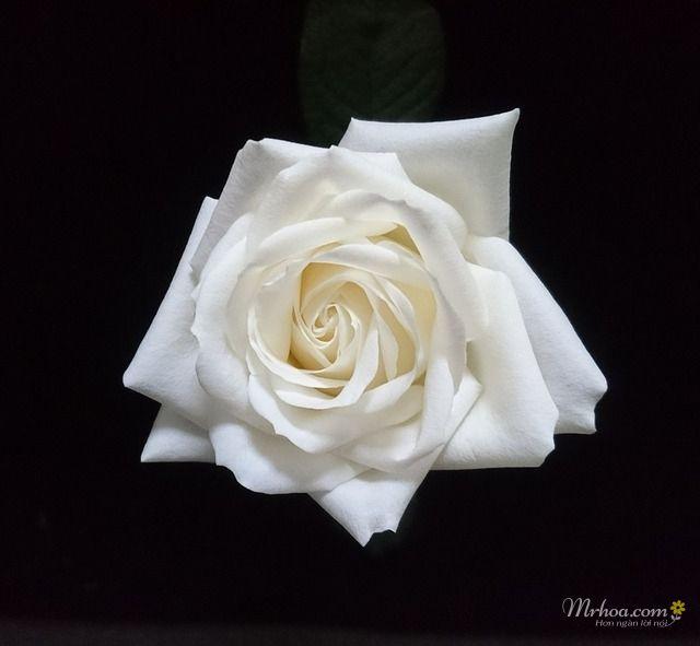 Ảnh hoa hồng trắng đẹp