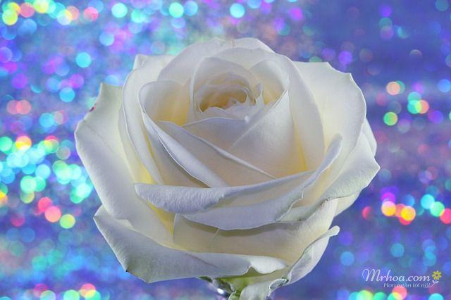 Hình hoa hồng trắng