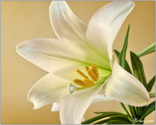 Ảnh đẹp hoa loa kèn