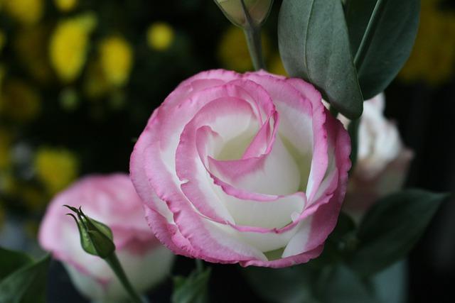 Bông hoa cát tường đẹp nhất