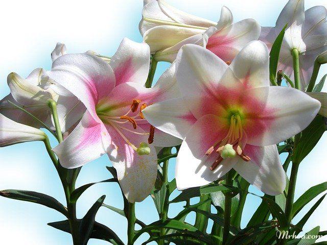 Hoa loa kèn tượng trưng cho điều gì