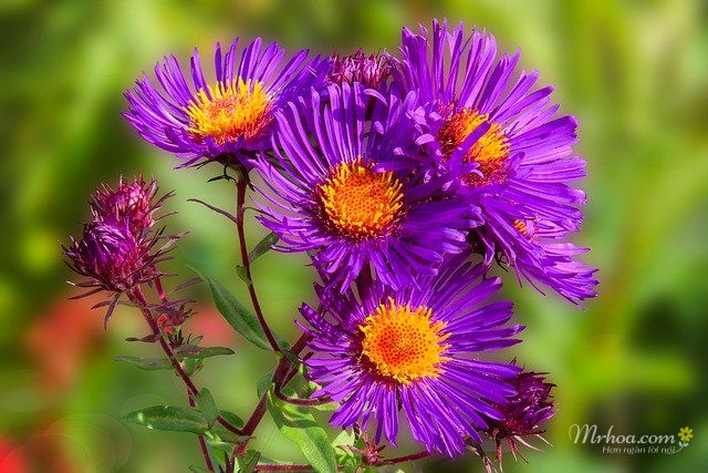 Bông hoa thạch thảo tím đẹp nhất thế giới