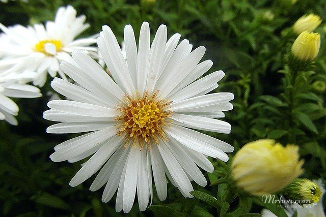 Hoa thạch thảo trắng đẹp nhất thế giới