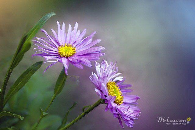 ảnh hoa thạch thảo đẹp