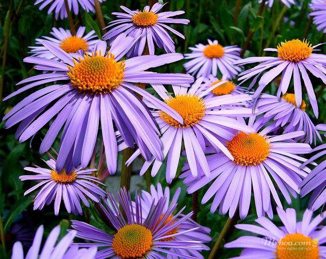 Bông hoa thạch thảo đẹp nhất