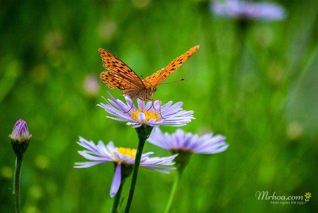 Bông hoa thạch thảo