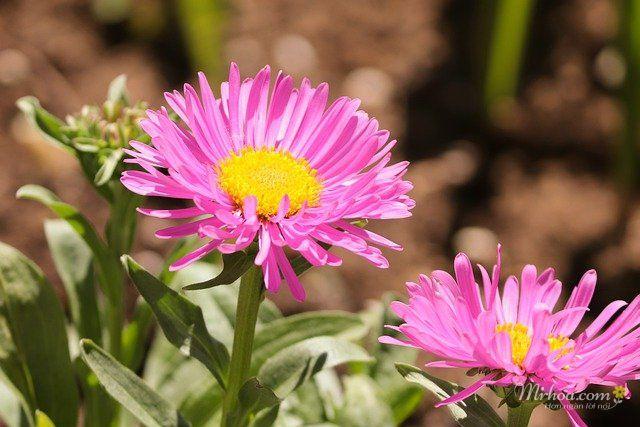 Hoa thạch thảo hồng đẹp nhất
