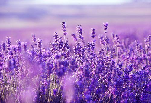 hinh anh dep va y nghia hoa oai huong 6