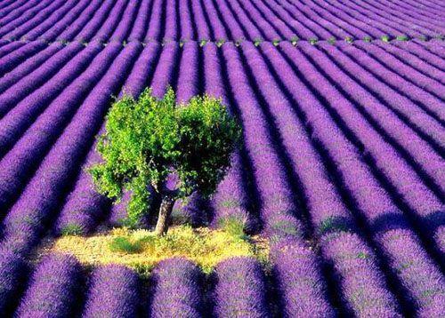 hinh anh dep va y nghia hoa oai huong 13
