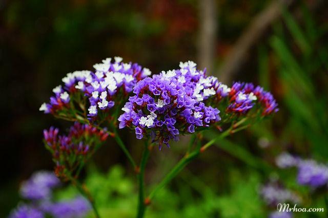 Bông hoa sao tím