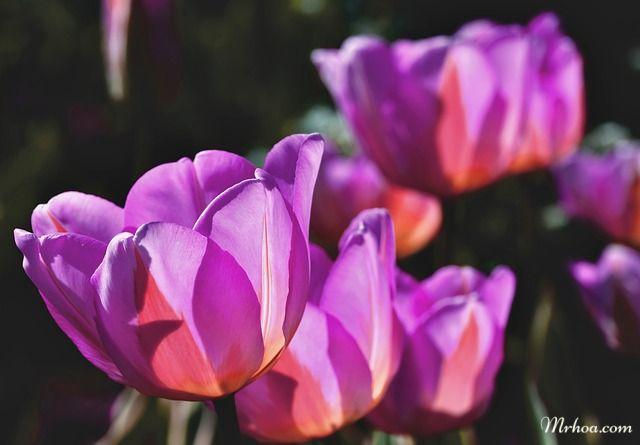Tulip đẹp nhất