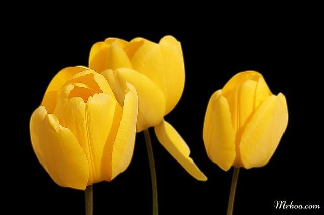 Hoa tulip vàng đẹp
