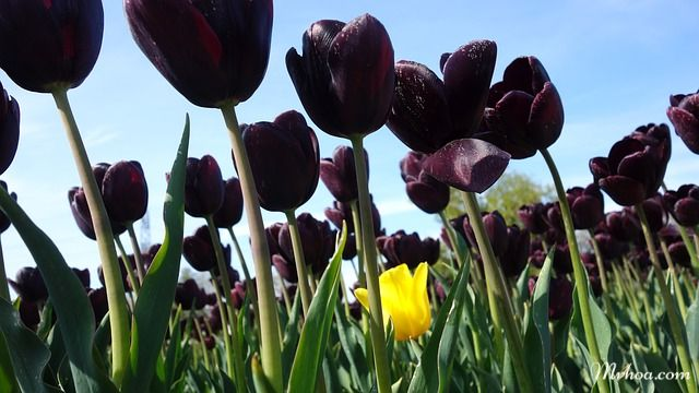 Tulip màu đen
