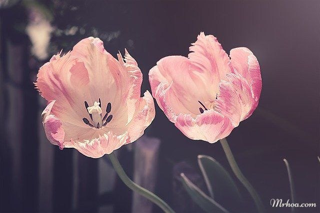 Hoa tulips nở đẹp