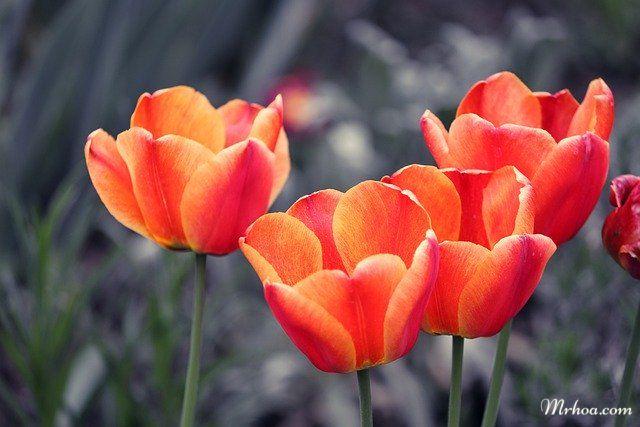 Hoa tulip màu cam đẹp nhất