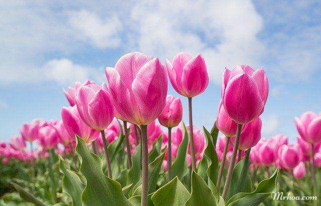 Hoa tulip dep nhat