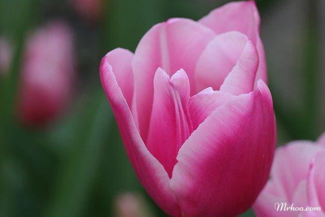 Hoa tulips màu hồng đẹp nhất