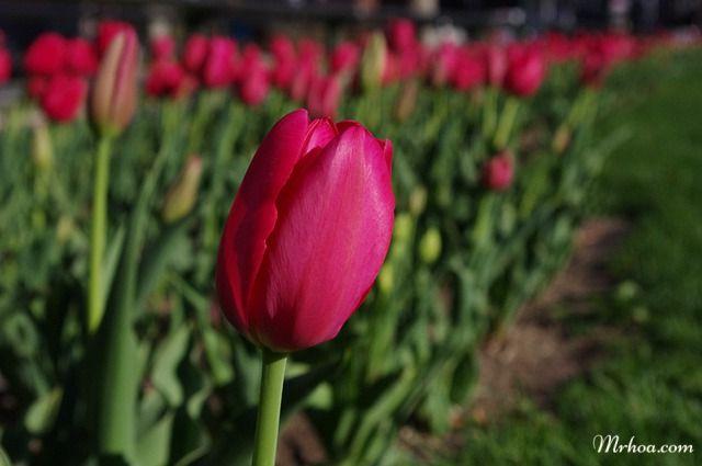 Hình bông hoa tulip đẹp