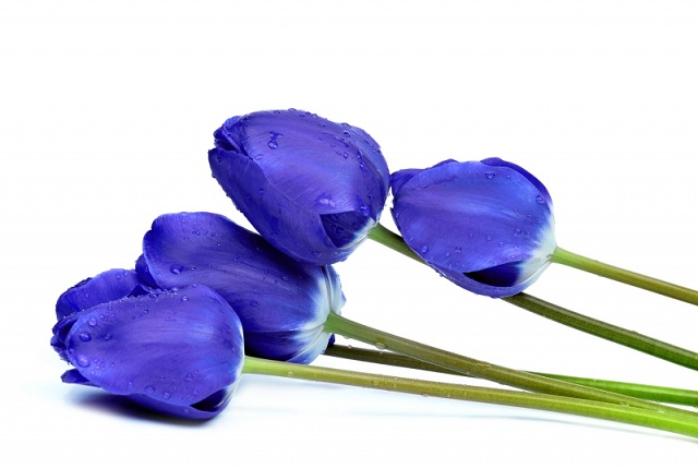 Ảnh hoa tulip xanh