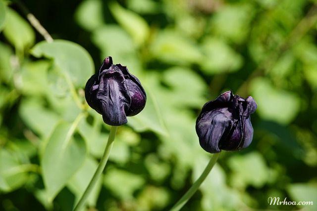 Ảnh tulip đen