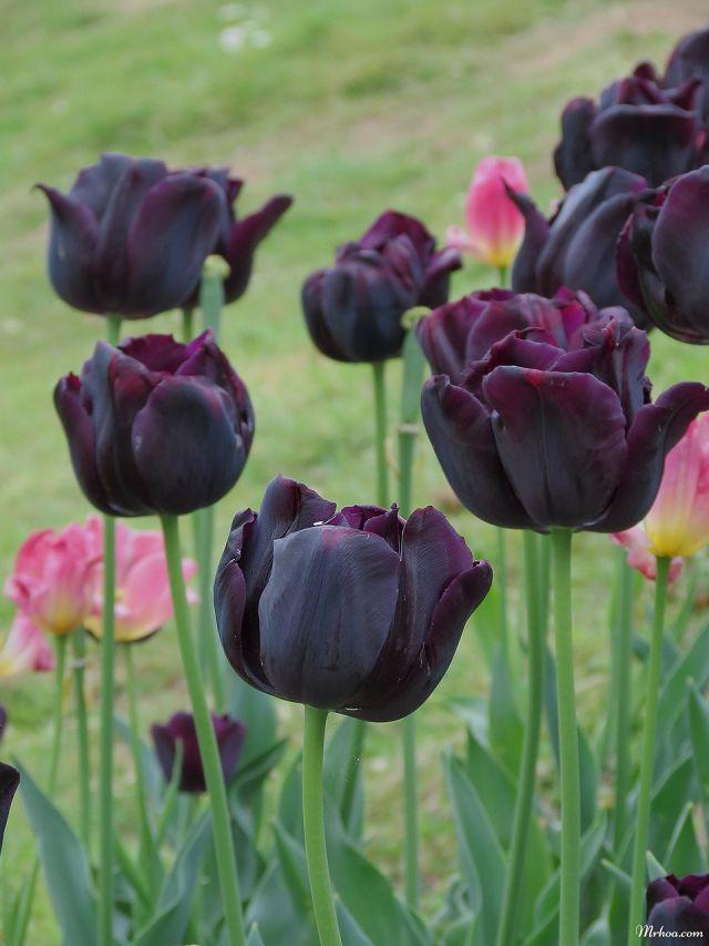 Ảnh tulip đen đẹp