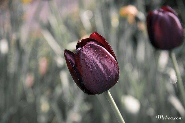 Tulip mau den dep