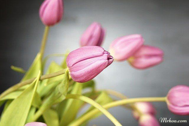 anh hoa tulip dep nhat the gioi