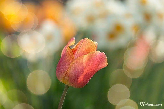 bong tulip dep