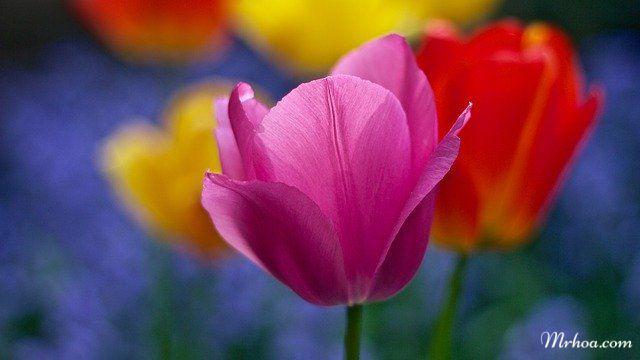 Bông hoa tulip đẹp