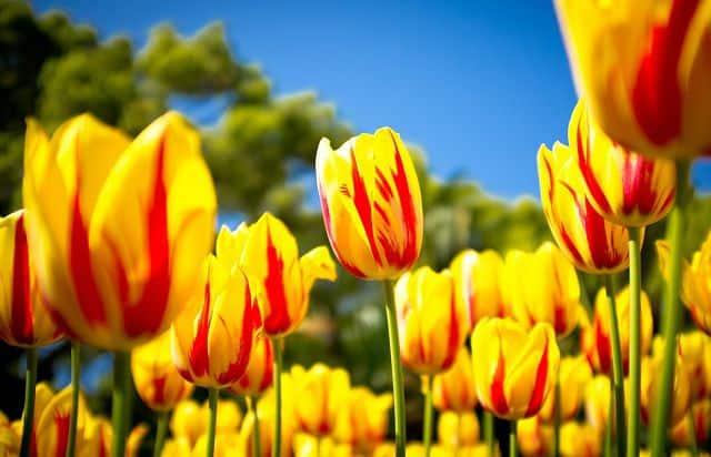 Hoa tulip đốm