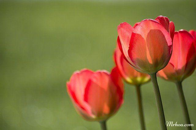 Ý nghĩa hoa tulip đỏ
