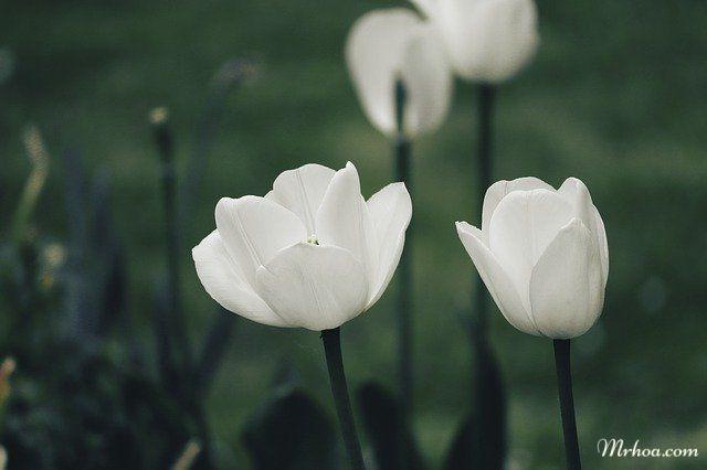 ý nghĩa hoa tulip trắng