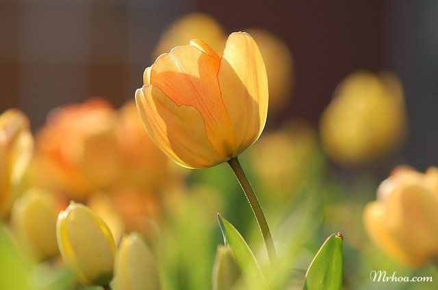 Ý nghĩa hoa tulip vàng