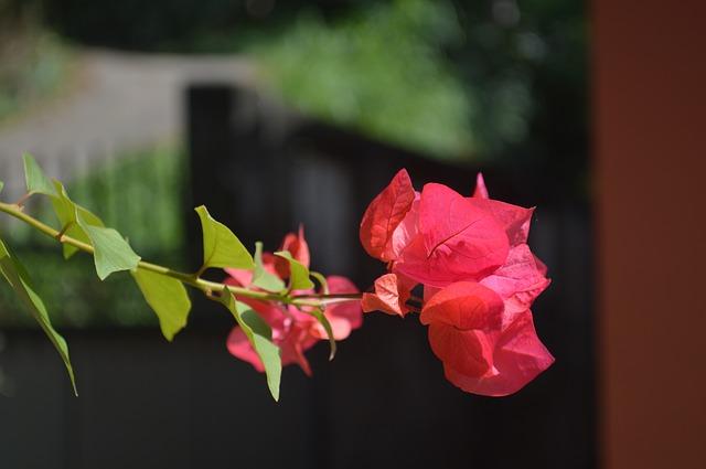 hoa giấy đỏ đẹp