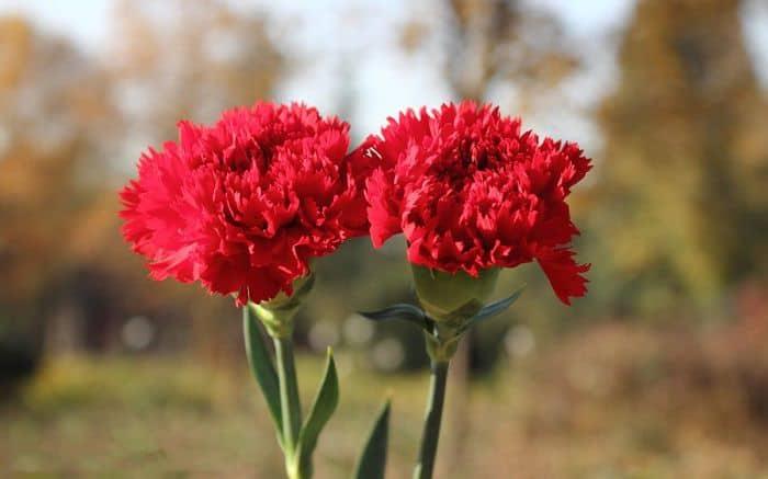 Bó hoa cẩm chướng gửi lời xin lỗi