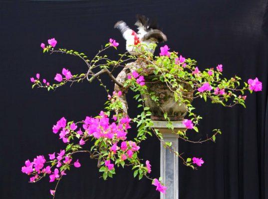 hoa giấy bonsai