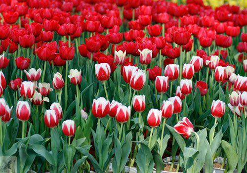 hoa tulip xin loi