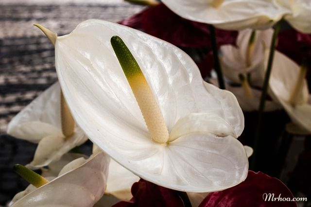 Ý nghĩa hoa hồng môn