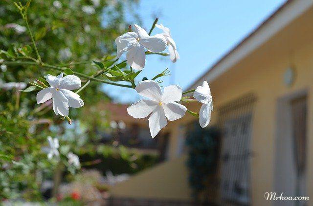 Hoa nhài Việt
