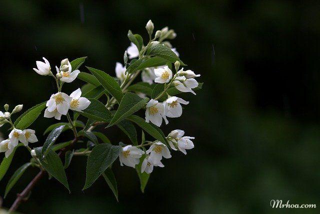 Canh hoa nhai