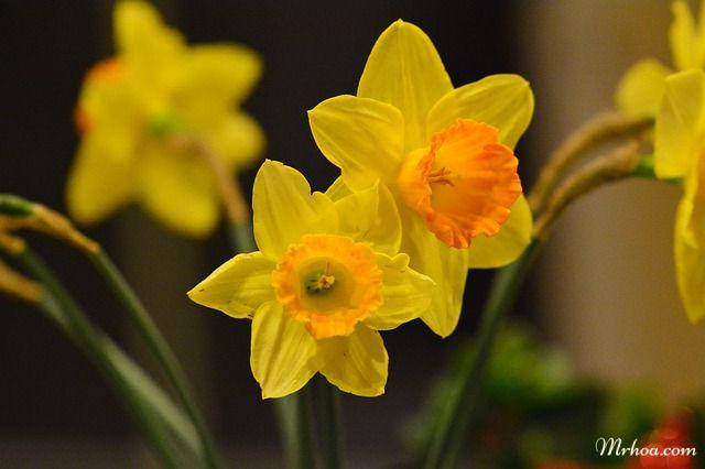 Hoa thủy tiên vàng đẹp