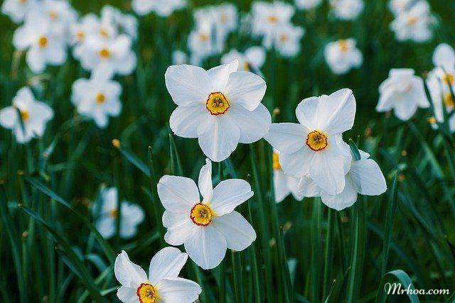Vườn thủy tiên trắng