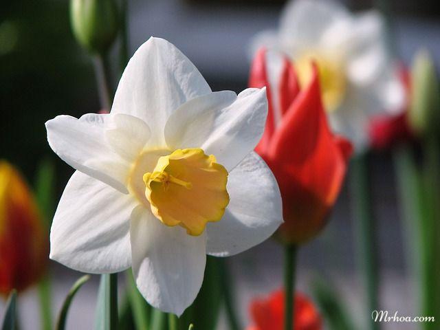 Hoa thủy tiên trắng đẹp nhất