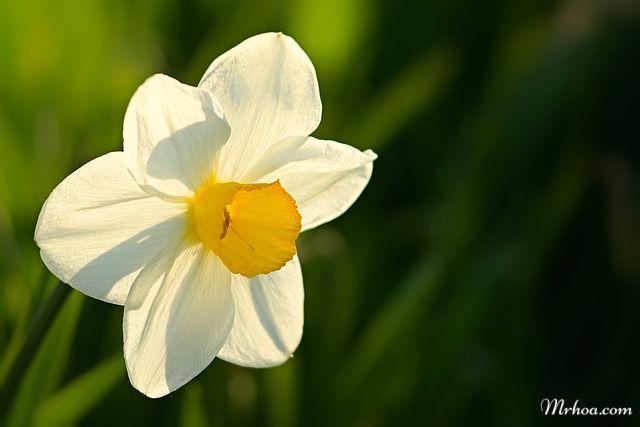 Hoa thuy tien truoc nang